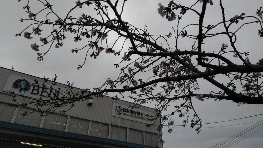 春待つ桜も膨らんで…